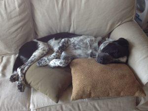 Dog on pillows